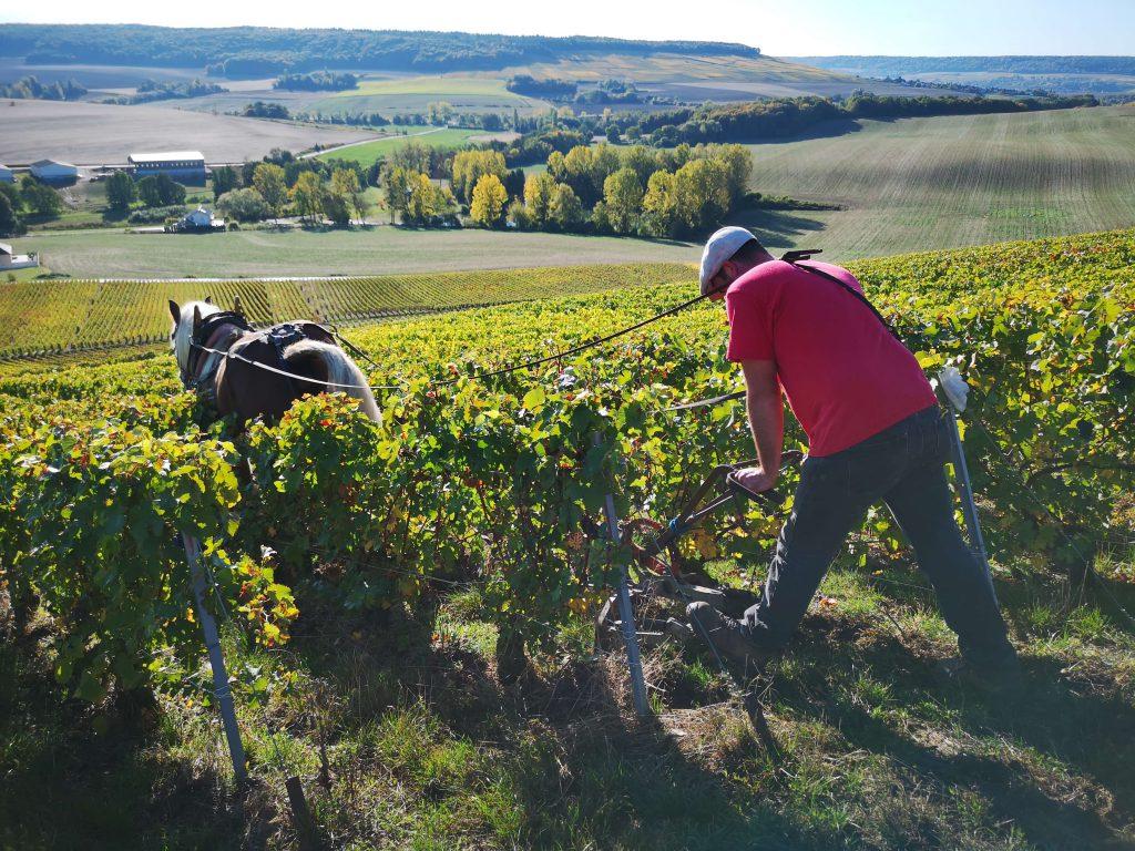 Moussé Fils Cuisles Champagne Cedric Meunier Pinot Pferd Weinberg Horse Work