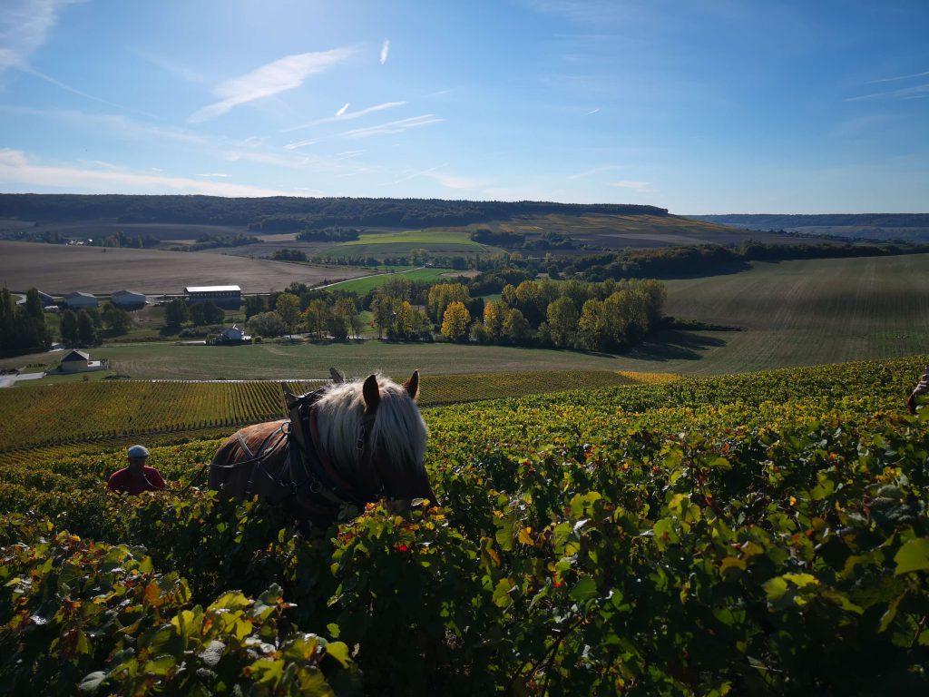 Moussé Fils Cuisles Champagne Cedric Meunier Pinot Horse Pferd Weinbau Weinberg