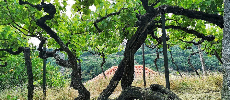 Portugal Vinho Verde Reise Reisebericht AD Wines Alte Reben Old Vine