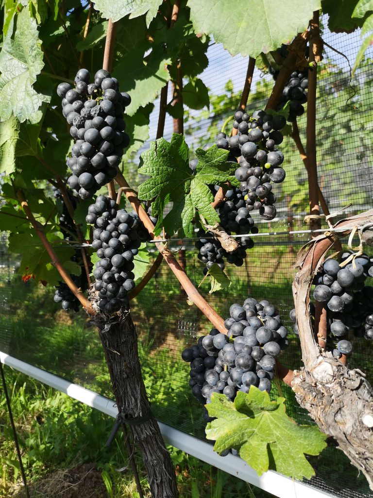 Castelfeder Pinot Nero Noir Traube Trauben