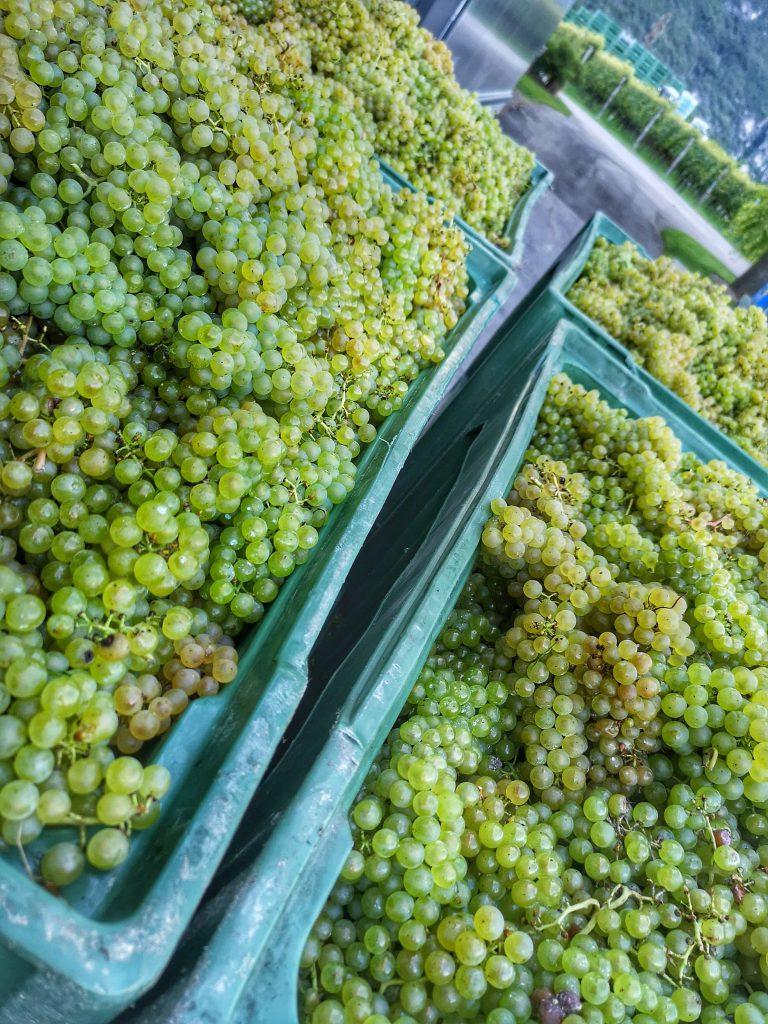 Castelfeder Chardonnay Ernte Lese Handlese Riserva Burgum Novum